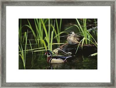 A Male Wood Duck Swims Past Its Mate Framed Print by Raymond Gehman