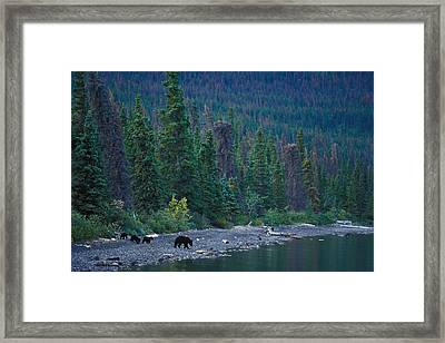 A Mother Black Bear And Her Triplets Framed Print by Nick Norman