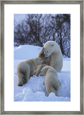 A Mother Polar Bear Nurtures Her Two Framed Print by Paul Nicklen