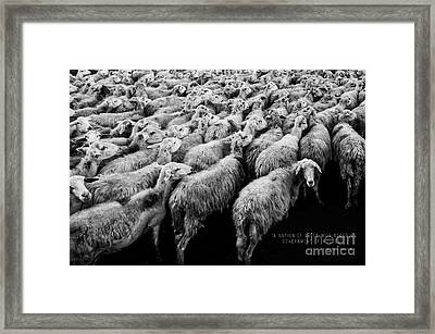 A Nation Of Sheep Framed Print by Edward Fielding