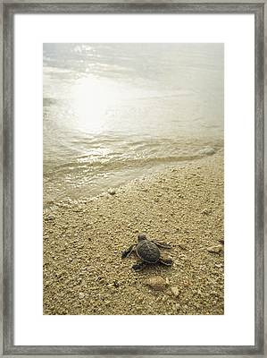 A Newly Hatched Green Sea Turtle Making Framed Print by Tim Laman