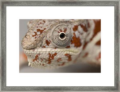 A Panther Chameleon At The Lincoln Framed Print by Joel Sartore