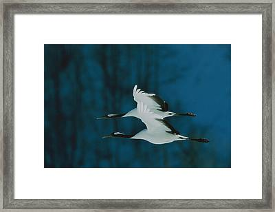 A Perfect Formation Of Two Japanese Or Framed Print by Tim Laman