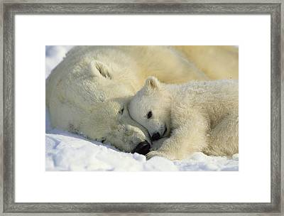 A Polar Bear And Her Cub Napping Framed Print by Norbert Rosing