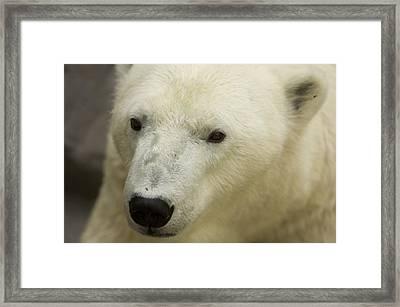 A Polar Bear At The Henry Doorly Zoo Framed Print by Joel Sartore