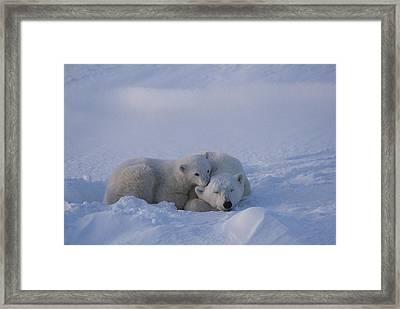 A Polar Bear Cub Ursus Maritimus Rests Framed Print by Tom Murphy