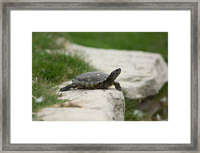 A Pond Turtle At The Sunset Zoo Framed Print by Joel Sartore