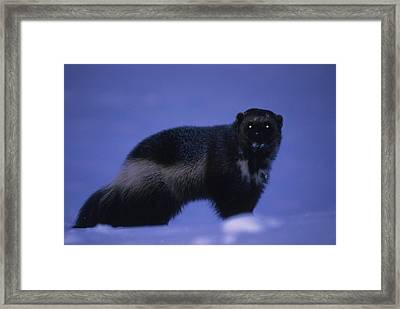 A Portrait Of A Wolverine In The Arctic Framed Print by Paul Nicklen