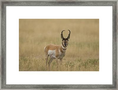 A Pronghorn Antelope At Charles M Framed Print by Joel Sartore