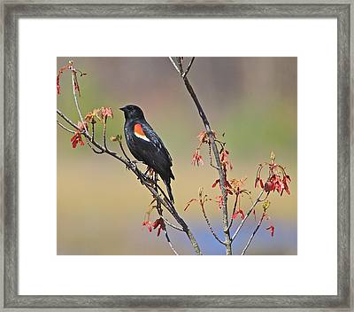 A Red Wing Framed Print by Robert Pearson