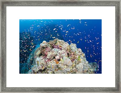 A Reef Scene With Schooling Anthias Framed Print by Dave Fleetham