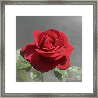 A Rose For You Framed Print by Skip Willits