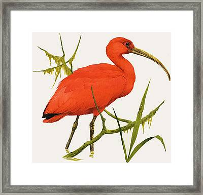 A Scarlet Ibis From South America Framed Print by Kenneth Lilly