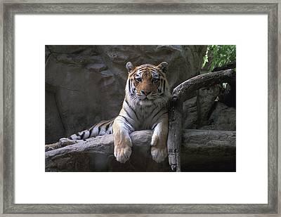 A Siberian Tiger At Omahas Henry Doorly Framed Print by Joel Sartore