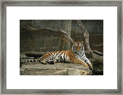 A Siberian Tiger Rests In Her Outdoor Framed Print by Joel Sartore