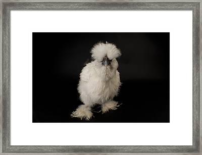 A Silkie Bantam Chicken Gallus Framed Print by Joel Sartore