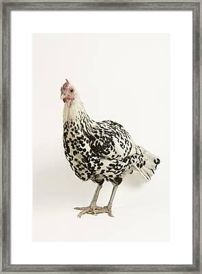 A Silver Spangled Hamburg Chicken Framed Print by Joel Sartore