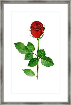 A Single Rose Framed Print by Irina Sztukowski