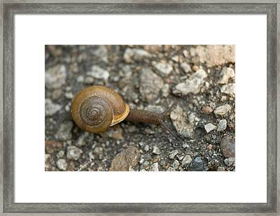 A Snail On A Gravel Path At The Sunset Framed Print by Joel Sartore