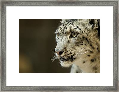 A Snow Leopard At Omahas Henry Doorly Framed Print by Joel Sartore