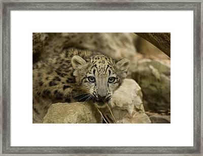 A Snow Leopard Cub Panthera Uncia Framed Print by Joel Sartore