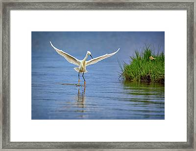A Snowy Egret Dip-fishing Framed Print by Rick Berk