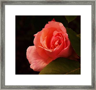 A Soft Rose  Framed Print by Jeff Swan