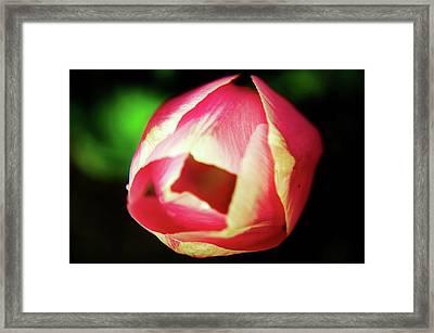 A Soft Tullip  Framed Print by Jeff Swan