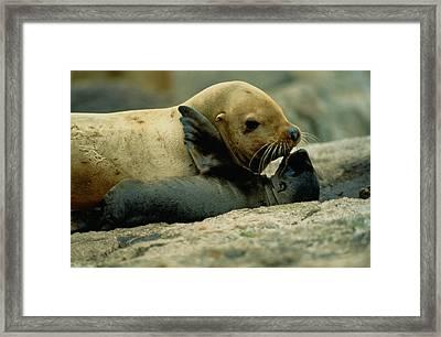 A Steller Sea Lion Cow Eumetopias Framed Print by Joel Sartore