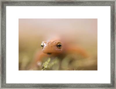 A Striped Newt Notophthalmus Framed Print by Joel Sartore