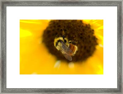 A Sunflower And Bumble Bee In Eastern Framed Print by Joel Sartore