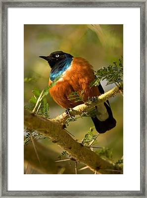 A Superb Starling Perched On An Acacia Framed Print by Roy Toft