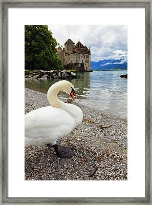 A Swan Standing Along A Lakeshore Framed Print by George Oze