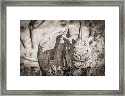 A Tasty Thornbush - Black And White Rhinoceros Photograph Framed Print by Duane Miller