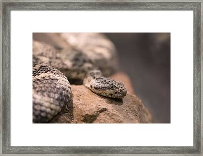 A Tiger Rattlesnake At The Henry Doorly Framed Print by Joel Sartore