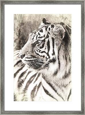 A Tigers Sketch 2 Framed Print by Clare Bevan