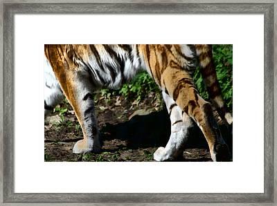 A Tigers Stride Framed Print by Karol Livote