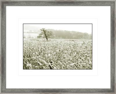 A Tree In A Cornfield Framed Print by Mal Bray