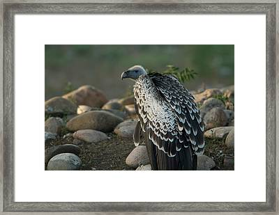 A Vulture From Omahas Henry Doorly Zoo Framed Print by Joel Sartore