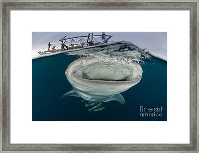 A Whale Shark With Mouth Wide Open Framed Print by Mathieu Meur