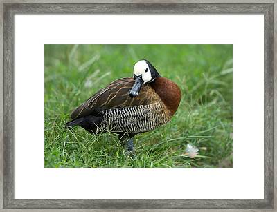 A White-faced Whistling Duck Framed Print by Joel Sartore
