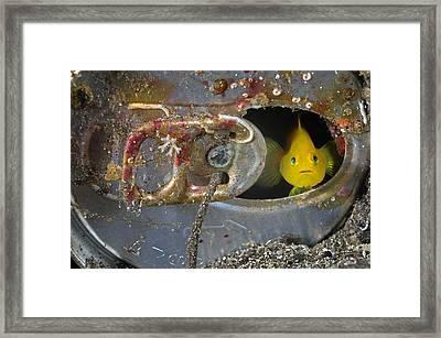 A Yellow Goby Peers Through The Window Framed Print by Brian J. Skerry