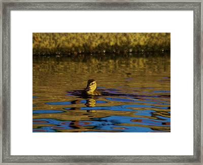 A Young Duckling Framed Print by Jeff Swan