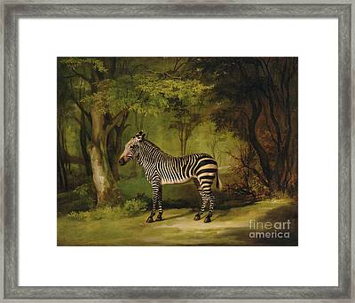A Zebra Framed Print by George Stubbs