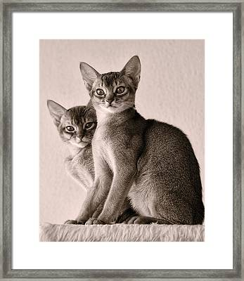 Abyssinian Kittens Framed Print by Ari Salmela