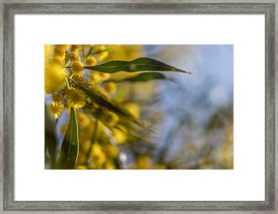 Acacia Framed Print by Stelios Kleanthous