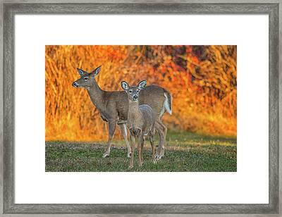Acadia Deer Framed Print by Darren White