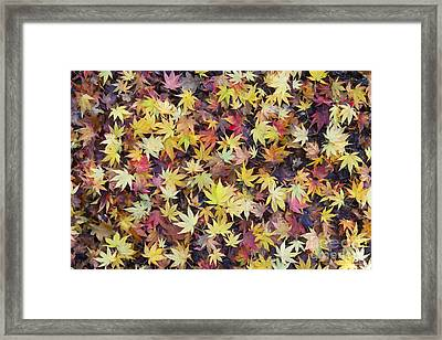 Acer Fall Framed Print by Tim Gainey