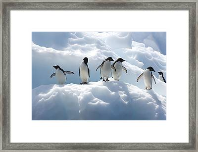 Adelie Penguins Lined Up On An Iceberg Framed Print by Tom Murphy