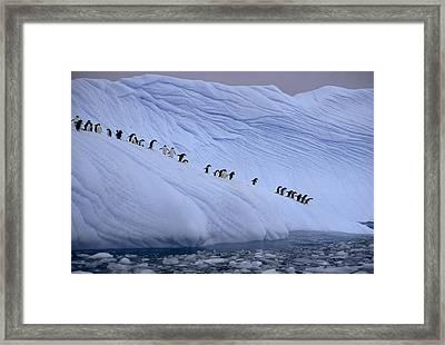 Adelie Penguins Totter Single File Framed Print by Des &Amp Jen Bartlett